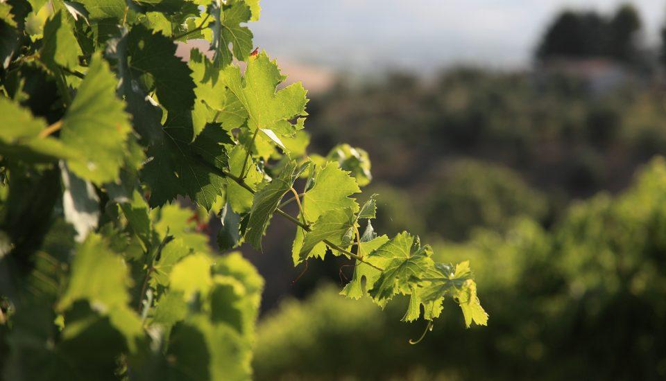 orvieto-vigneto-vino