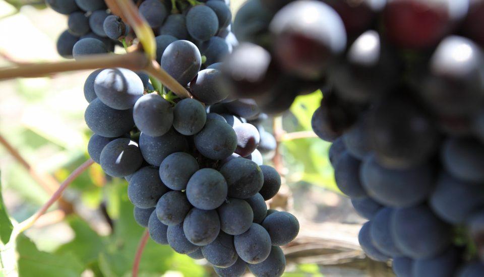 perugia-vigneto-uva