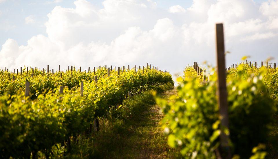 perugino-vigneto-vino